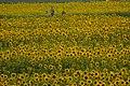 2017-07-15 Ono-himawarino-oka-park (小野市立ひまわりの丘公園) ☆彡10.jpg