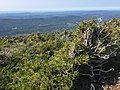 2017-09-11 14 51 31 Stunted Red Spruce trees along the Sunset Ridge Trail at about 3,590 feet above sea level on the western slopes of Mount Mansfield within Mount Mansfield State Forest in Underhill, Chittenden County, Vermont.jpg