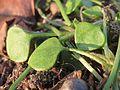 20170128Claytonia perfoliata1.jpg
