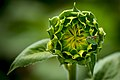 20170716-PJK-Sunflowers-0090TONED (35927267676).jpg