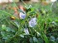 20171018Veronica serpyllifolia1.jpg