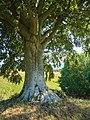 2019-08-14 ND Rotbuche bei Groß-Zicker (MV) 01.jpg