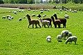 20190515 alpacas en schapen ten zuidwesten van Boazum.jpg