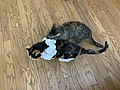 2020-07-22 17 30 43 A tabby cat eating a paper necklace on a Calico cat while standing on a wood floor in the Franklin Farm section of Oak Hill, Fairfax County, Virginia.jpg