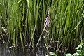 20200701Stachys palustris3.jpg
