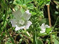 2070520Malva neglecta1.jpg