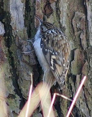 Eurasian treecreeper - Central European bird feeding on a trunk