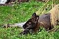 50 Jahre Knie's Kinderzoo (1962-2012) - Rotnacken-Wallaby (Macropus rufogriseus) 2012-10-03 16-03-42.JPG