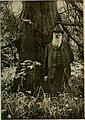 50jährige 'Sequoia gigantea' in Klein-Flottbek mit ihrem Pflanzer Carl Ansorge.jpg