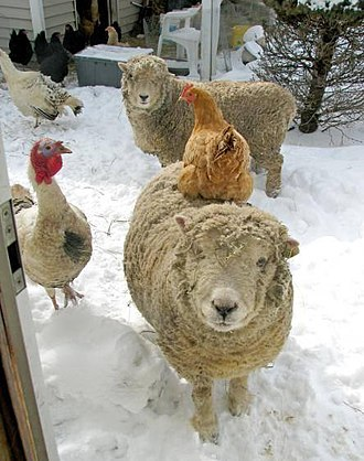 Olde English 'Babydoll' Southdown sheep - Babydoll Ram in full wool (Unsheered) with adult chicken (Orpington) on his back, and a Royal Palm Tom Turkey beside him (female turkey in background) for size comparison.   The sheep in background is an adult female Babydoll (ewe).   The ram is the same as in photo above.