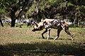 AFRICAN WILD DOG (13984026106).jpg