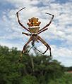 A Aranha-de-prata (Argiope argentata) se alimenta, antero-dorsal recorte.jpg