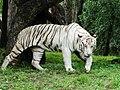 A Captive White Tiger.jpg
