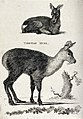 A Tibetan musk deer shown sitting on the ground and standing Wellcome V0021232.jpg