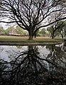 A big tree (Albizia saman) @ Sukhothai Historical park , ต้นจามจุรี - panoramio.jpg