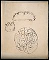 A brain; and two sections of brain (?). Drawing. Wellcome V0009805.jpg