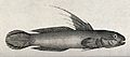 A gudgeon (Gobius strigatus). Etching by P. Mazell after F. Wellcome V0022102.jpg