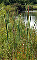 A pond with rushes westwards outside the Woodland Trust wood Theydon Bois Essex England.JPG