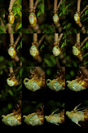 A process of the emergence of the large brown cicada.jpg