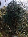 A rhododendron Tree.jpg