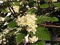 Ab plant 1735.jpg