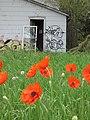 Abandoned Poppies - Flickr - Mark Sadowski.jpg