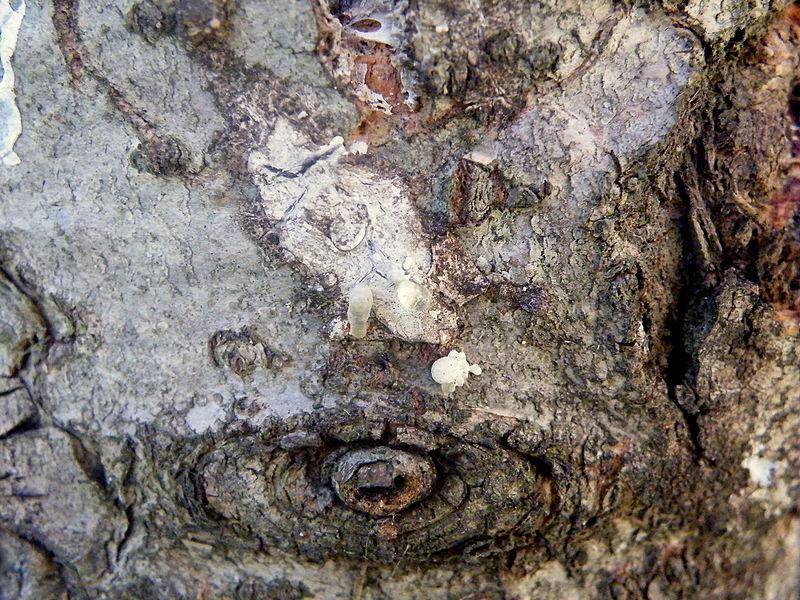 File:Abies concolor (17).JPG