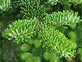 Abies fraseri foliage.jpg