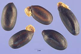 Acacia baileyana seeds.jpg
