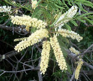 Senegalia caffra - habit and inflorescences