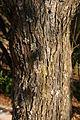 Acacia hereroensis00.jpg