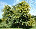Acacia karroo, habitus, Jimmy Aves Park, b.jpg