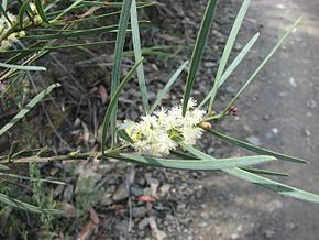 Description de l'image Acacia suaveolens.jpg.