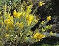 Acaciacultriformis.jpg