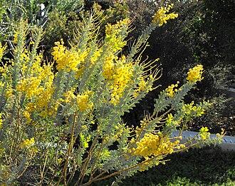 Acacia cultriformis - Image: Acaciacultriformis