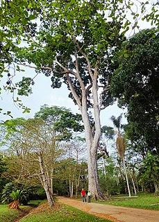 <i>Khaya ivorensis</i> Species of tree found in Africa