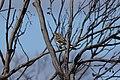 Acanthagenys rufogularis (32663698805).jpg