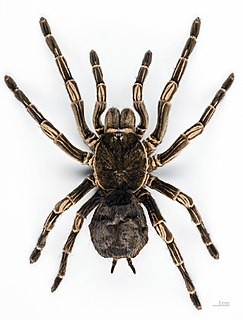 <i>Acanthoscurria</i> Genus of spiders