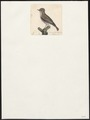 Accentor modularis - 1700-1880 - Print - Iconographia Zoologica - Special Collections University of Amsterdam - UBA01 IZ16200392.tif