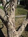 Acer buergerianum (bark), Mount Auburn Cemetery.JPG