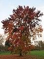 Acer palmatum, Rentilly.jpg