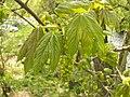 Acer pseudoplatanus 001.jpg