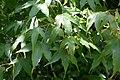 Acer sinense in Christchurch Botanic Gardens 03.jpg