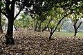 Acharya Jagadish Chandra Bose Indian Botanic Garden - Howrah 2011-02-20 1636.JPG