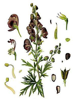 Aconitum carmichaelii - Image: Aconitum Napellus By Koehler 1887