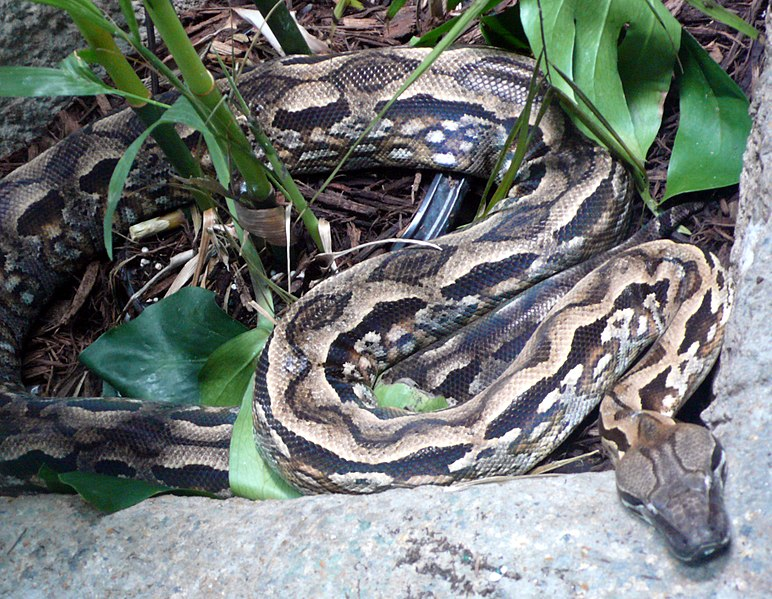 http://upload.wikimedia.org/wikipedia/commons/thumb/c/c3/Acrantophis_madagascariensis_%281%29.jpg/772px-Acrantophis_madagascariensis_%281%29.jpg