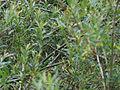 Acrocephalus palustris (18862183512).jpg