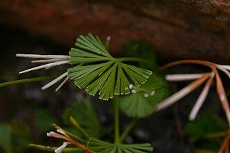 Actiniopteris radiata - Actiniopteris dimorpha