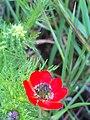 Adonis annua subsp. castellana FlowersCloseup 19April2009 CampodeCalatrava.jpg