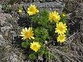 Adonis vernalis, gorocvet.jpg